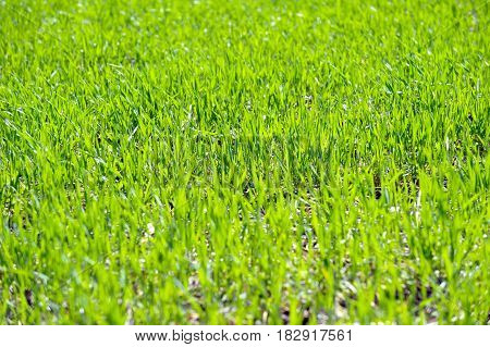 Fresh wheat germ on the field with in a sunny spring day