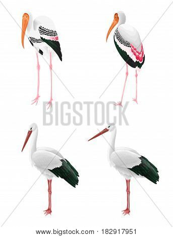 Oriental stork and Indian Painted stork isolated on white. long-necked wading birds.