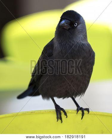 Big adult australian crow is a black bird with a white iris
