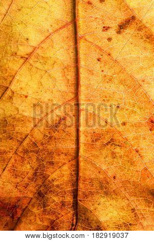 The dry autumn leaf texture as background