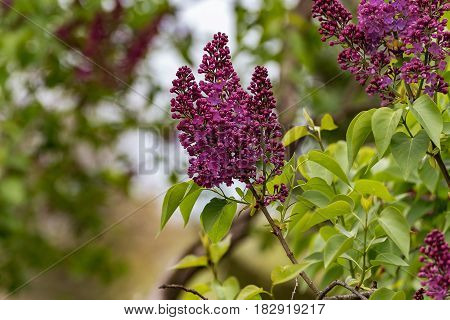 Green surroundings, park, beautifully blooming lilac, purple color that shines