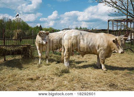 die Kuh mit einem Stier.