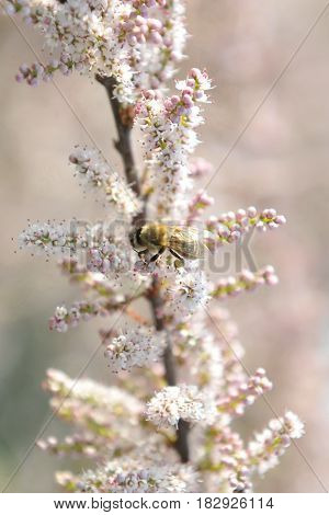 The bee collects nectar from flower peach