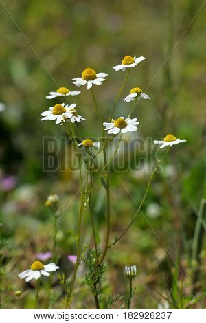 Chamomile on blurred green background. Natural background