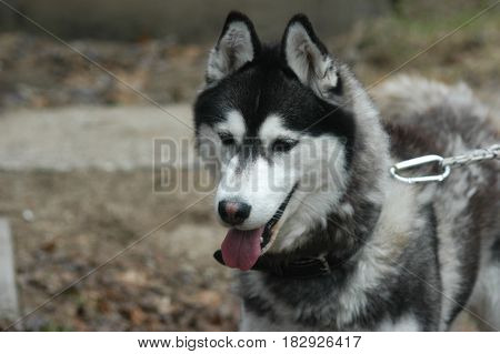 dog husky leash looking  face pet  happy