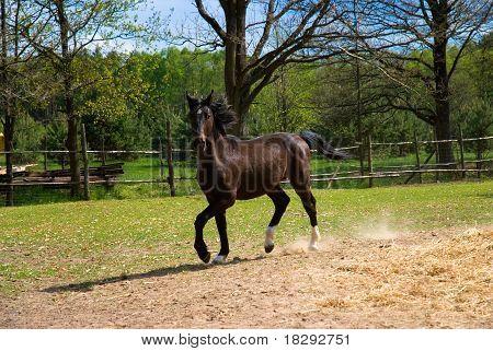 braunes Pferd in springen