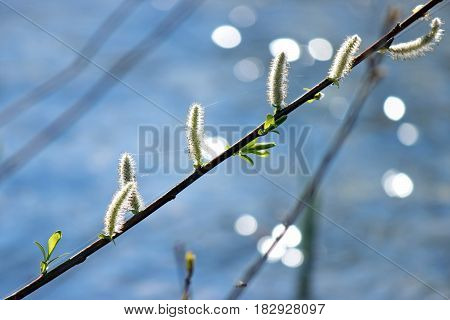 Soft catkins on an American Pussy Willow tree with sparkling water and bokeh background.