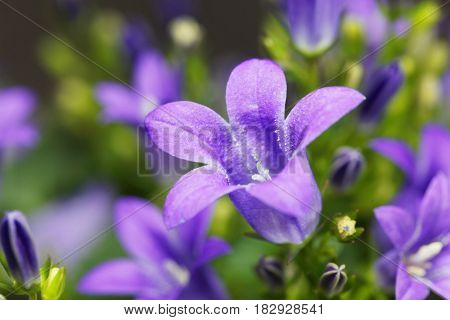 Flowers of a dalmatian bellflower (Campanula portenschlagiana)
