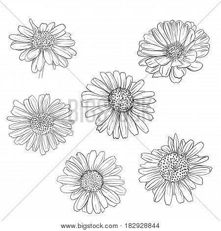 Daisy Hand Drawn Sketches Set.
