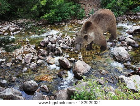 Brown bear searching for fish in mountain stream