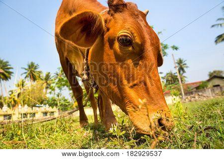 Little calf mug eating grass closeup