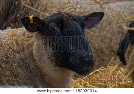 Ewe mother sheep standing in straw inside a barn