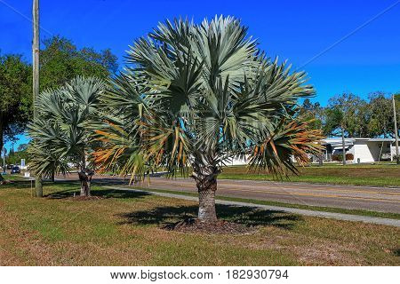 Mexican blue palm trees in public garden