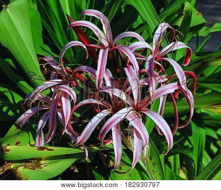 Plant flowers purple crinum lily (Crinum Asiaticum)