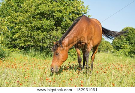Red bay horse grazing in sunny pasture with red wild flowers