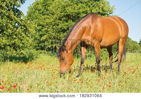Bay horse in summer pasture with Indian Blanketflowers