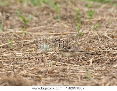 Beautiful Lark Sparrow with bold markings on his head foraging on the ground