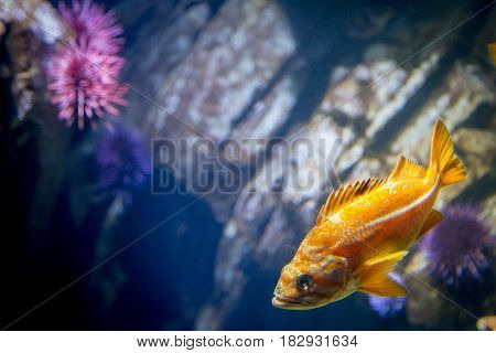 Orange fish swimming with purple sea urchin in front of rocks