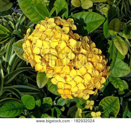 Jungle geranium (Ixora coccinea) yellow also known as jungle geranium flame of the woods jungle flame or Cross of Malta (in Puerto Rico)