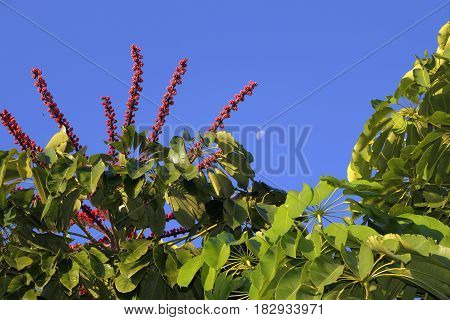 Photo of the tree commonly called umbrella tree made in a garden of South Florida (MIami)