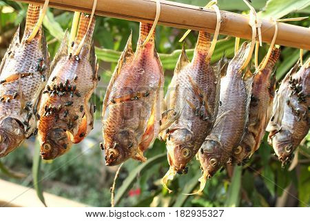 Green fly on dried fish hanging on a branch