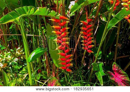 Garden with tropical plants among which stands out Heliconia rostrata commonly known as lobster-claws wild plantains or false bird-of-paradise