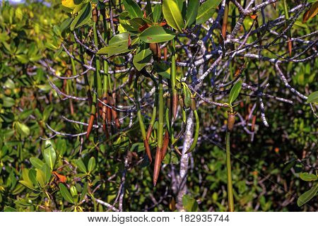 Mangrove located on Weedon Island Preserve in Tampa Bay