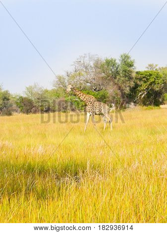 Lonely giraffe on plains in Africa green yellow grass with acacia trees behind.