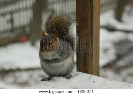 Cute gray squirrel on snow covered deck with paws meeting on belly and tail up seems to be deciding which seeds to eat first. Cute little squirrel with paws and tail up sitting on deck end with seed shells at his feet. Grey squirrel in the snow. poster