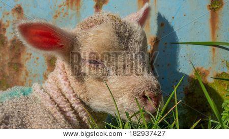 baby lamb lying in fresh grass enjoying the sun