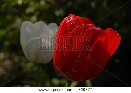 Red Tulip Covered In Dew