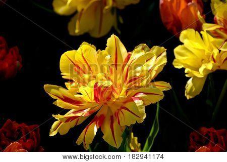 Yellow double tulip on black background. Skagit Valley Tulip Festival. Seattle. Mount Vernon. WA. United States.
