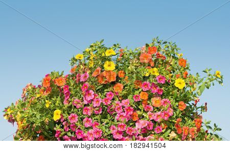 Multicolored Calibrachoa flowers against clear blue sky