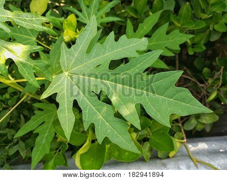 Close up picture of the Papaya leaf in green garden