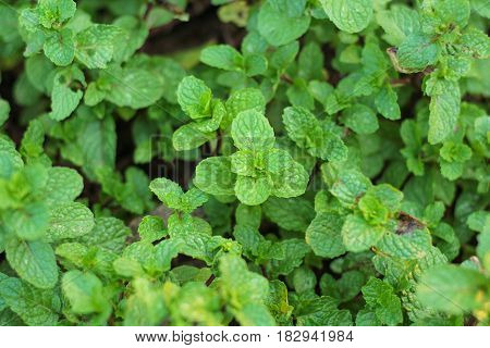 green mint plant grow in vegetable garden