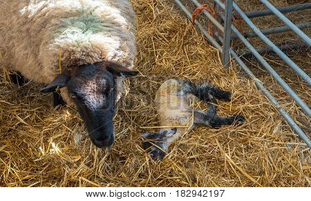 Sheep ewe licks her lamb after giving birth in order to claim it as her own and form the bond a perant has with their offspring.