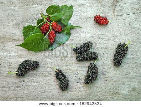 Fresh ripe mulberry berries on tree Fresh mulberry