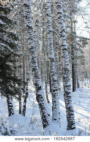 Birch in the snow in the winter forest