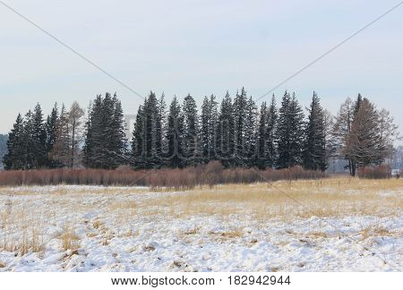 Pine trees and bushes on a snowy field