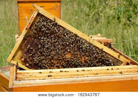 Brood frame with bees on the honeycomb taken out from beehive