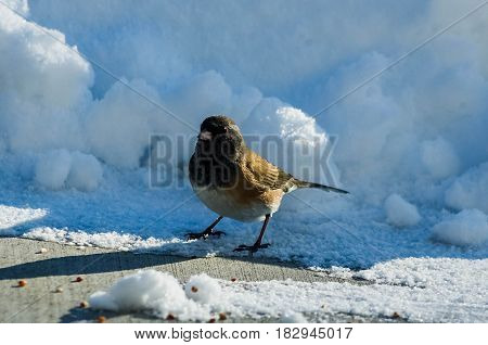 Junco In The Snow Final