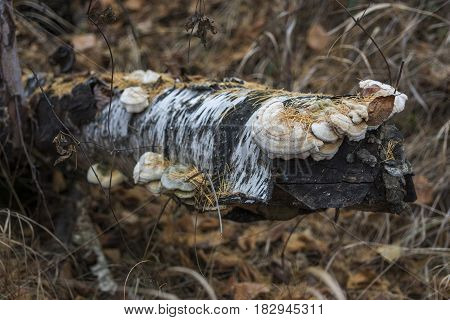 Detail of a gnarled piece of wood. The rotten trunk of a fallen tree with mushrooms on it. The texture of an old tree trunk wood as a backdrop. The trunk of an old tree. Кусок старой березы с наросшими древесными грибами.