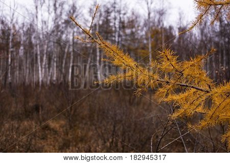 Close up of larch tree branch with yellow needles. Autumn background yellow larch branches.