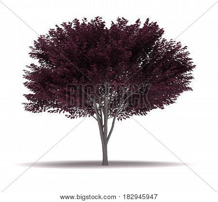 Single Cherry Blossom Plum Tree  3D Rendering