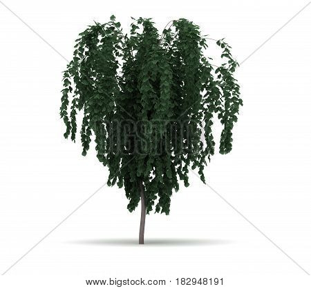 Single Weeping Katsura Tree (isolated white background) 3D Rendering