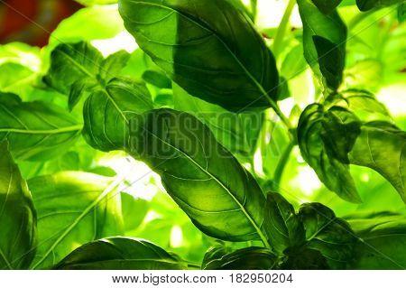 fresh green basil low key green leaves