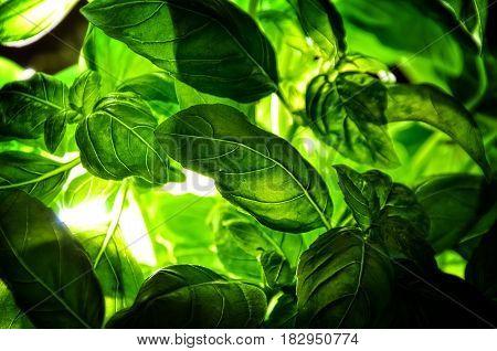 fresh basil low key green leaves basil