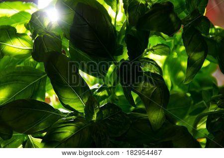 fresh green basil low key green leave basil