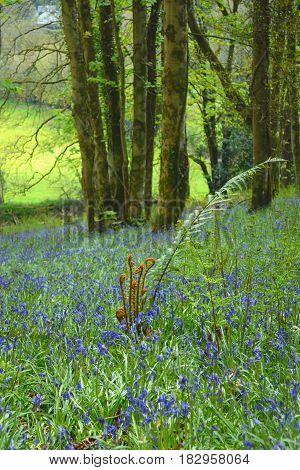 Fern growing in bluebells field in woodland of Dorset England