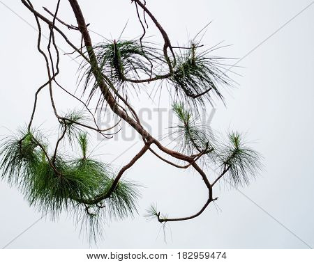 Pine leaf on the tree with white cloud and wind